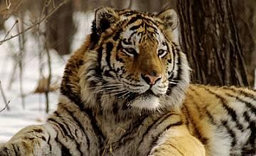 Седмица на тигрите