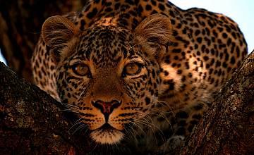 Леопардът с нефритения поглед | Jade Eyed Leopard
