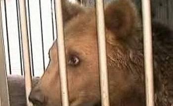 18-месечният мечок Мишо, живял в къща край Русе, вече е в парка край Белица.