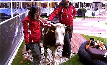 Крава в двора на Big Brother 4