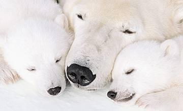 Приключението на голямата полярна мечка